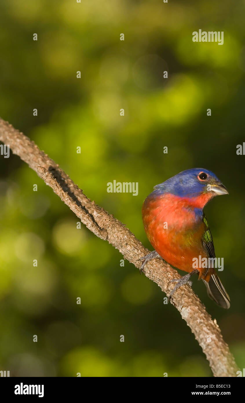 Male Painted bunting - Stock Image