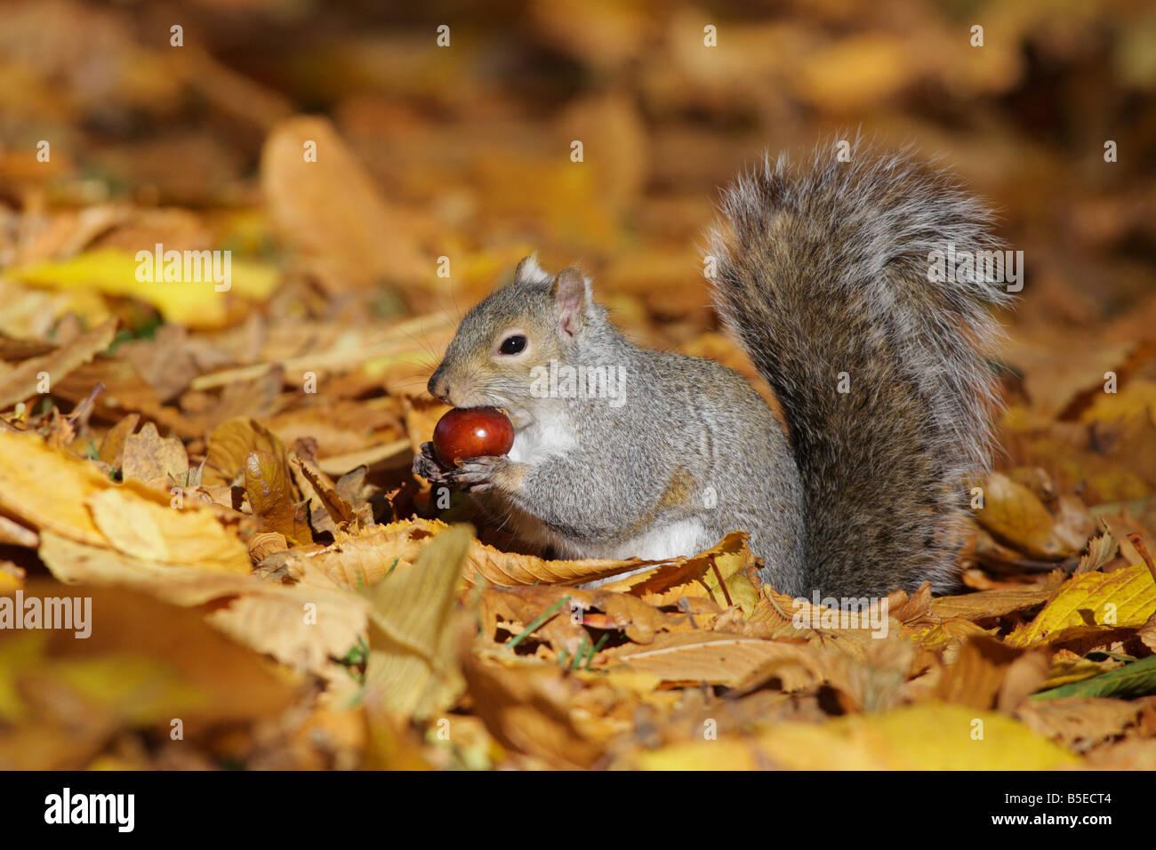 Grey squirrel with chestnut in autumn Victoria British Columbia Canada - Stock Image