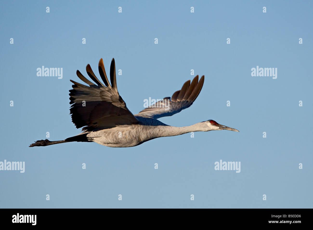 Sandhill crane (Grus canadensis) in flight, Bosque Del Apache National Wildlife Refuge, New Mexico, USA, North America - Stock Image