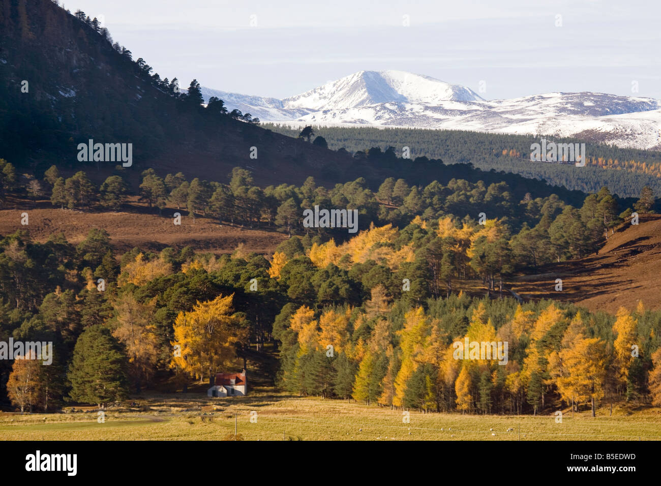 Autumn coloured larch trees & pine woodland;  views of snow-capped mountains of Braeriach (Braigh Riabhach), - Stock Image