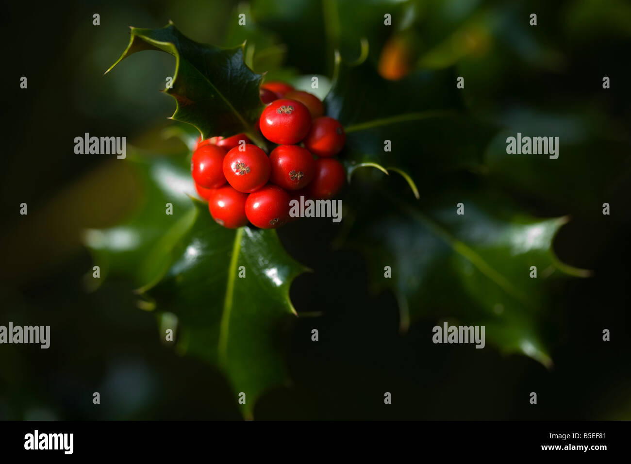 A close up of holly berries and holly leaves - Stock Image