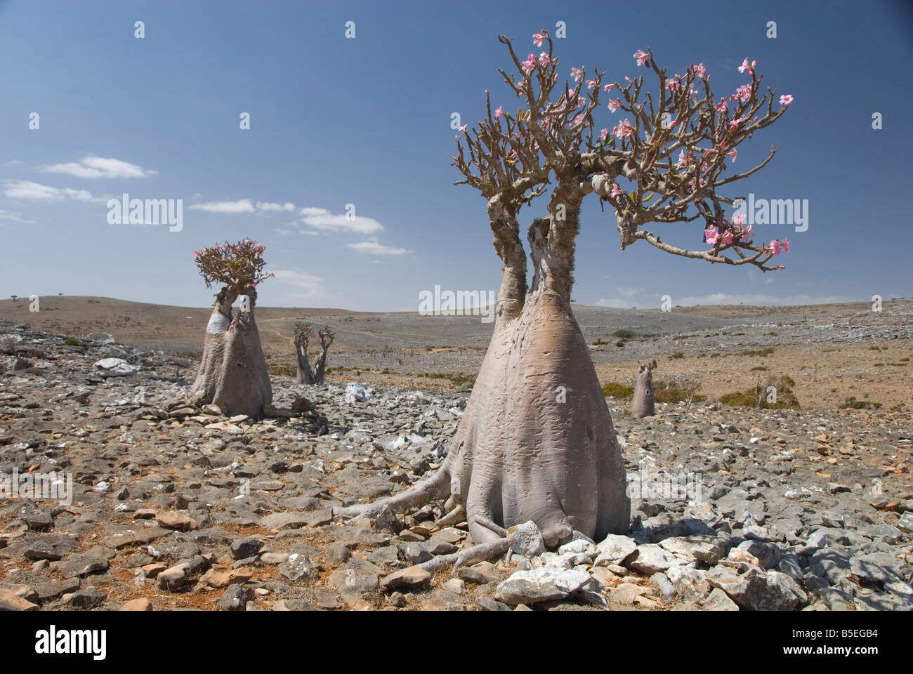 Bottle tree desert rose adenium obesum endemic to island Diksam Plateau central Socotra Island Yemen Middle East - Stock Image
