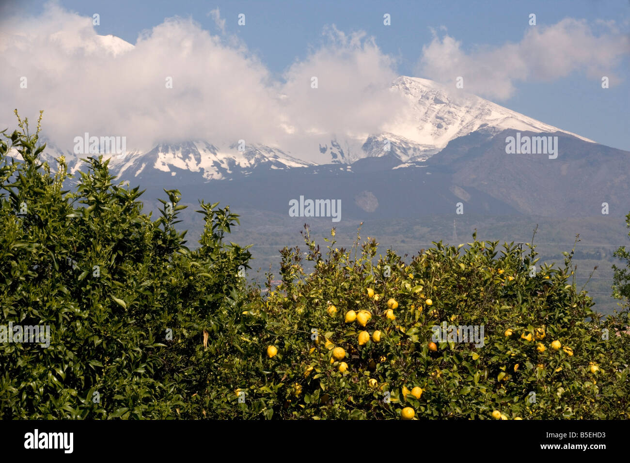 Lemons growing below the snows of Mount Etna Sicily - Stock Image