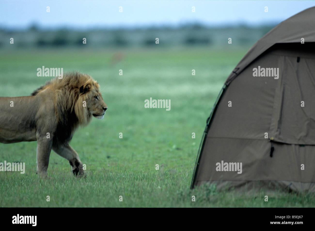 Lion, campers tent, Central Kalahari Game Reserve, Botswana, Africa - Stock Image