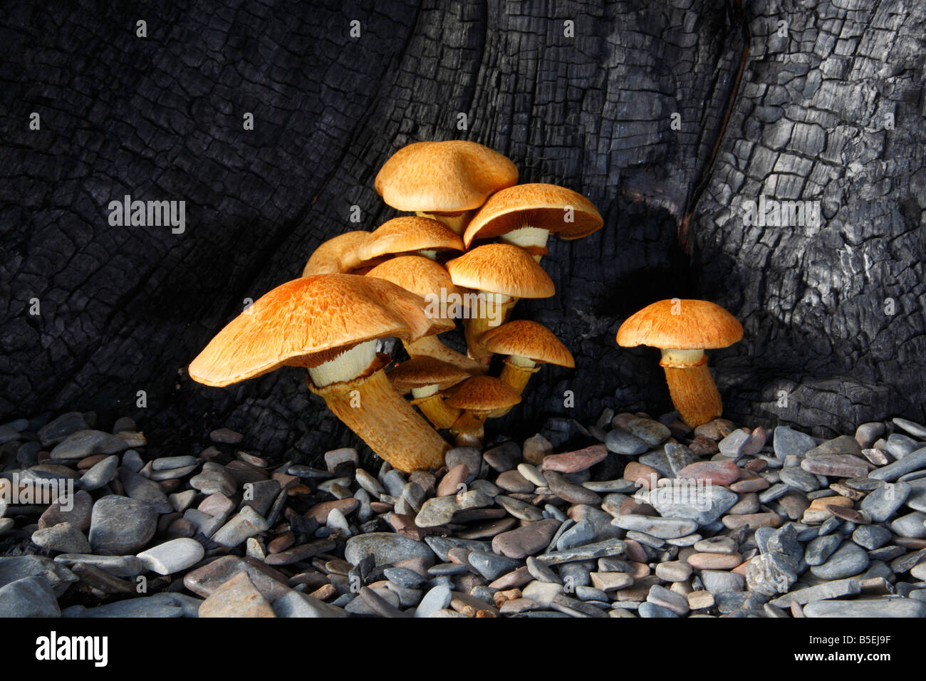 Gymnopilus spectabilis fungi a member of the order Corinariales (family Crepidoceaea) growing out of burnt tree. - Stock Image
