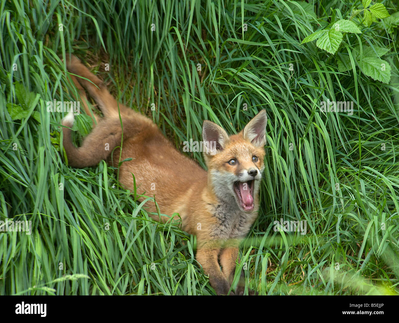 Red fox cub Vulpes vulpes relaxing and yawning - Stock Image