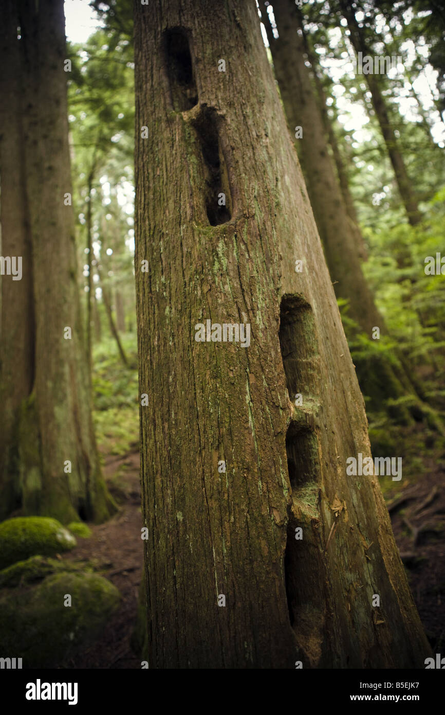 large holes in a trunk made by woodpeckers - Stock Image