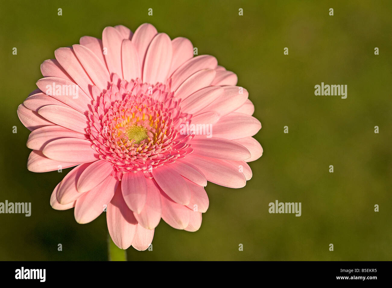 Pink gerbera showing radial symmetry disc and ray florets typical of daisy family - Stock Image