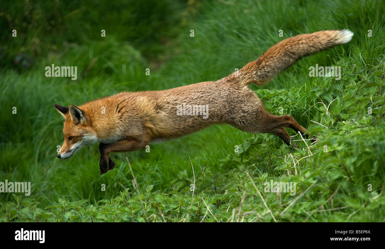 Red fox Vulpes vulpes running - Stock Image