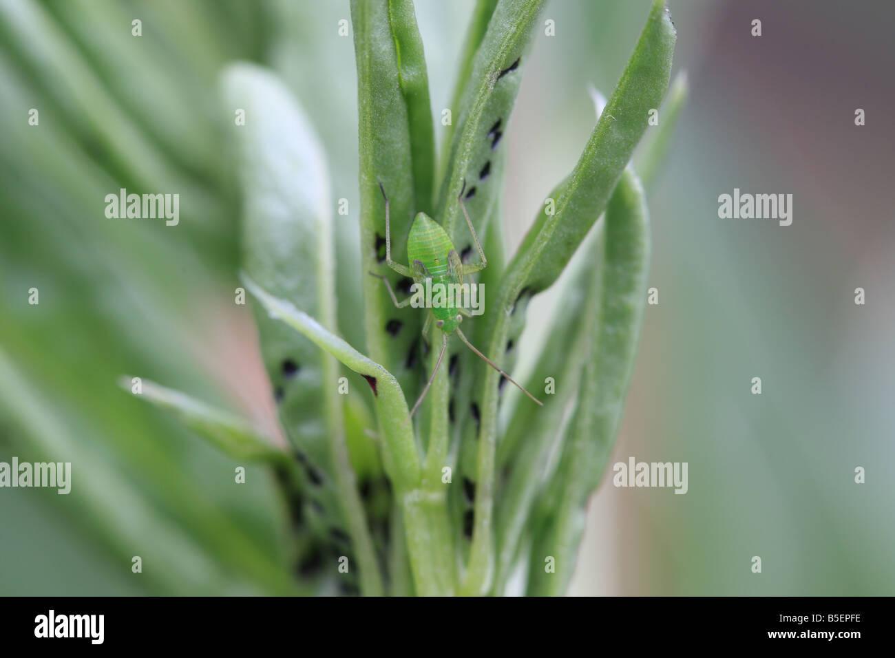 COMMON GREEN CAPSID Lygocoris pabulinus NYMPH ON BROAD BEAN SHOOT BACK VIEW - Stock Image
