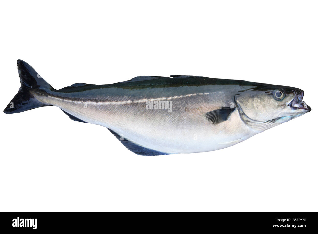 pollack, saithe, coalfish, Atlantic pollack, coley, Latin: Pollachius virens; caught in Iceland (cut-out) - Stock Image