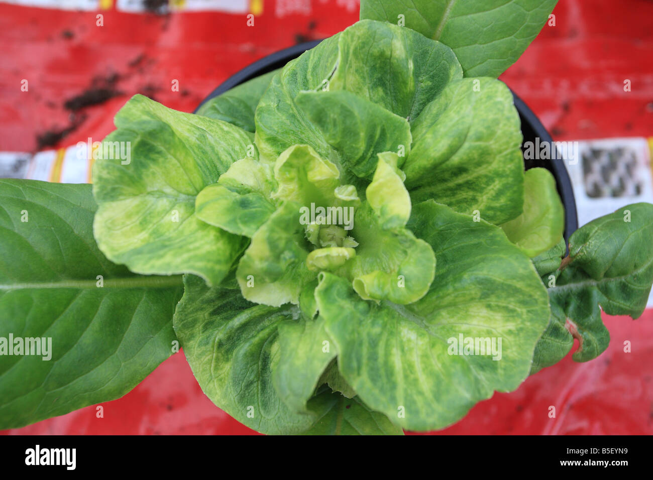 LETTUCE MOSAIC VIRUS INFECTED PLANT TOP VIEW - Stock Image