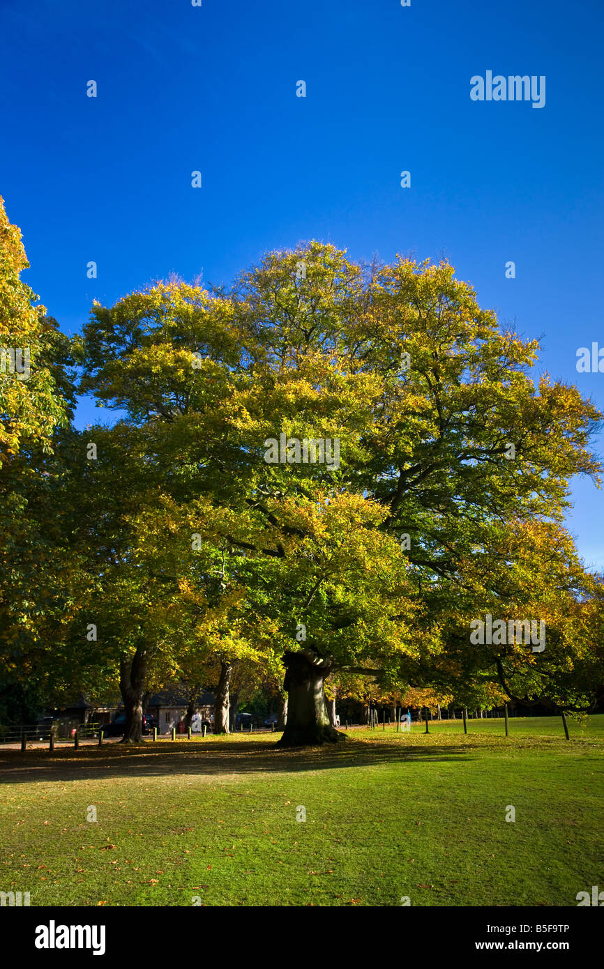 Beech Tree at Autumn Thorp Perrow Bedale Yorkshire - Stock Image