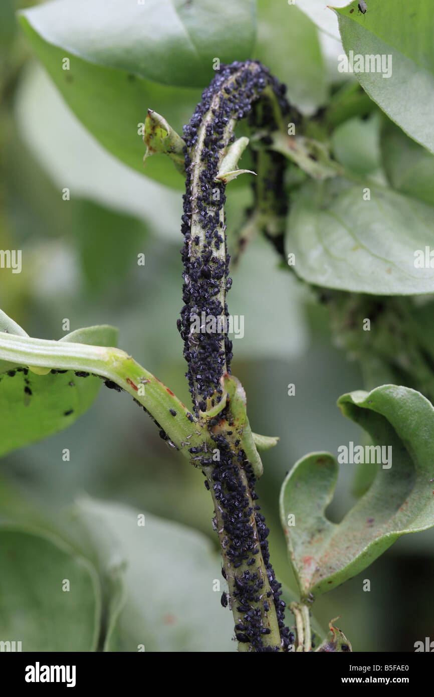 BLACK BEAN APHIS Aphis fabae COLONY ON BROAD BEAN STEM - Stock Image