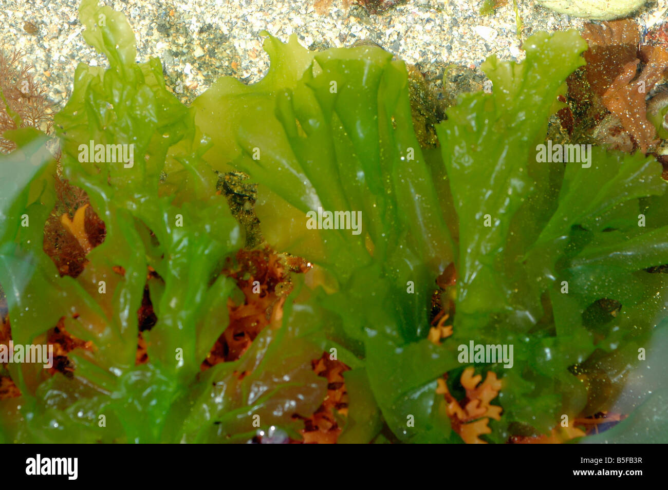 Sea Lettuce Ulva Lactuca A Green Seaweed In A Rockpool Uk Stock