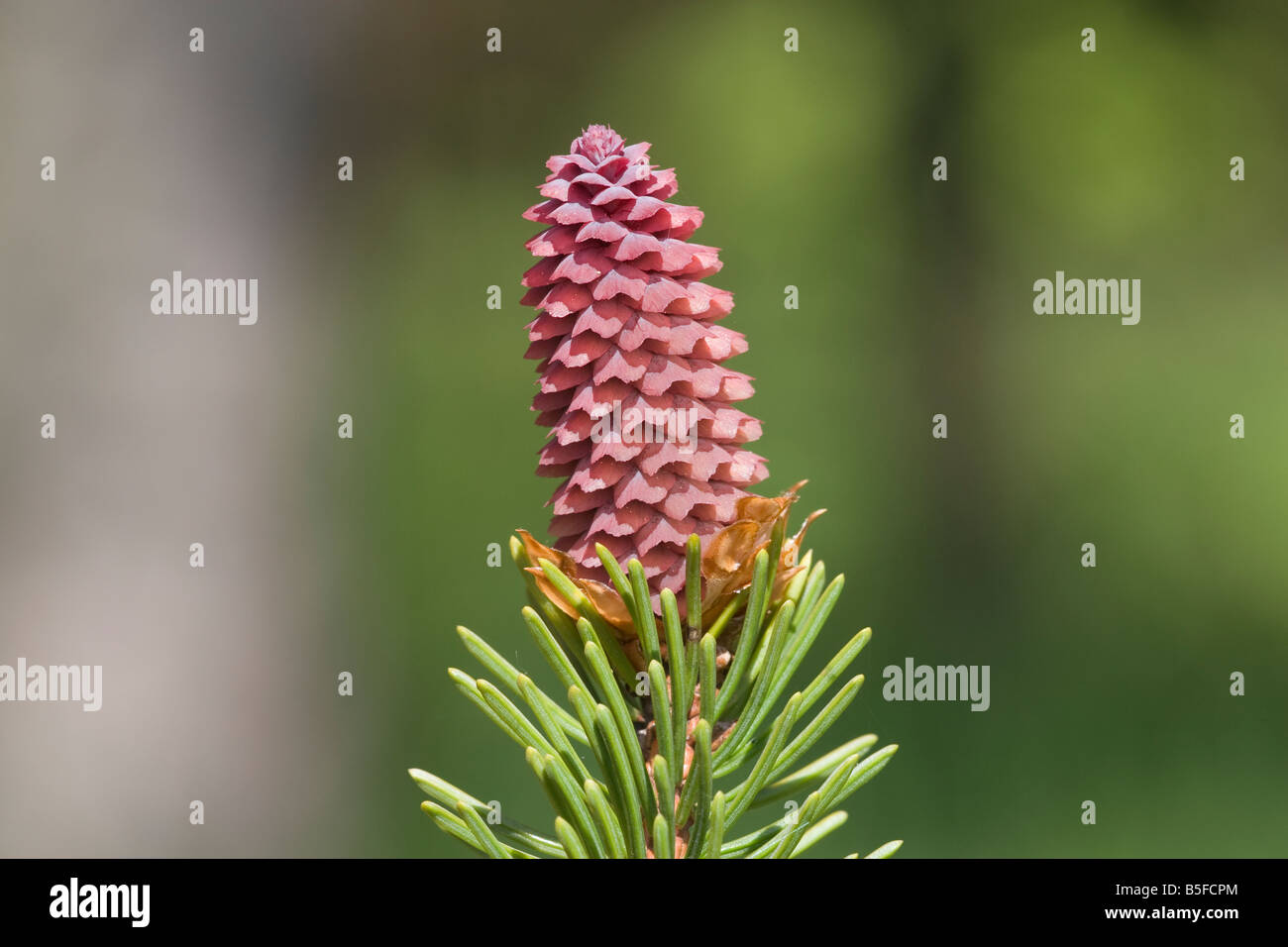 Picea abies Spruce cone pinecone tree conifer kernel - Stock Image