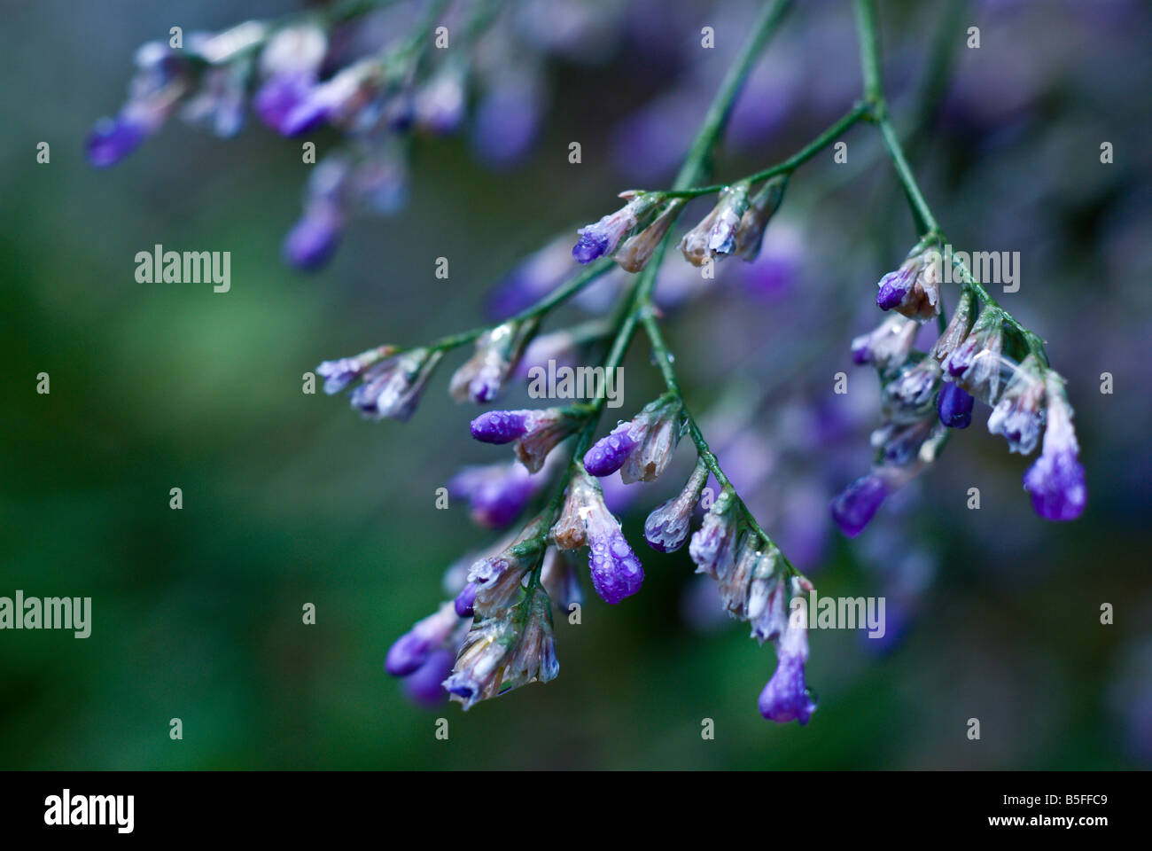 Limonium Plumbaginaceae with rain drops - Stock Image