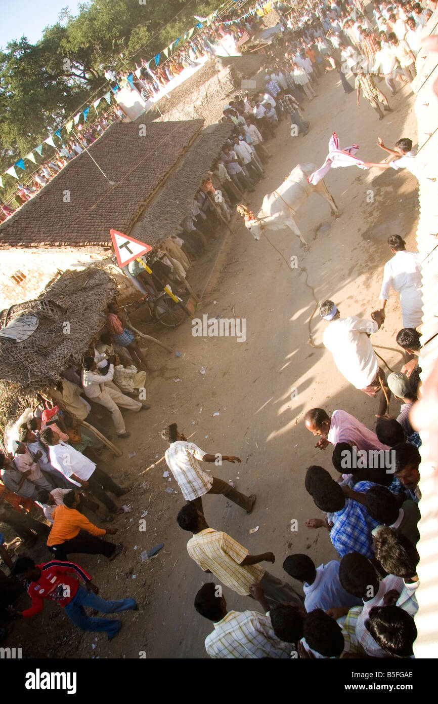 A bull stops and is about to charge spectators on a street of a Tamil Nadu village. - Stock Image