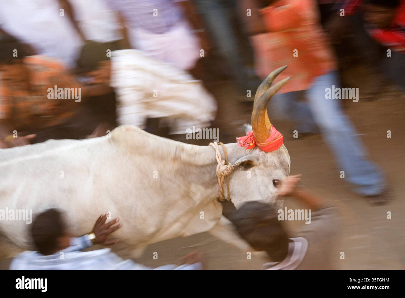 A bull races through the street of a Tamil Nadu village as part of Pongal festivities. - Stock Image