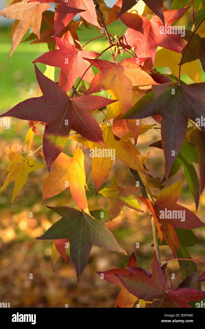 Sweet gum Liquidambar leaves turn from yellow to red - Stock Image