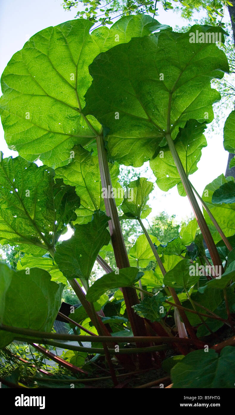 rhubarb plant from below - Stock Image