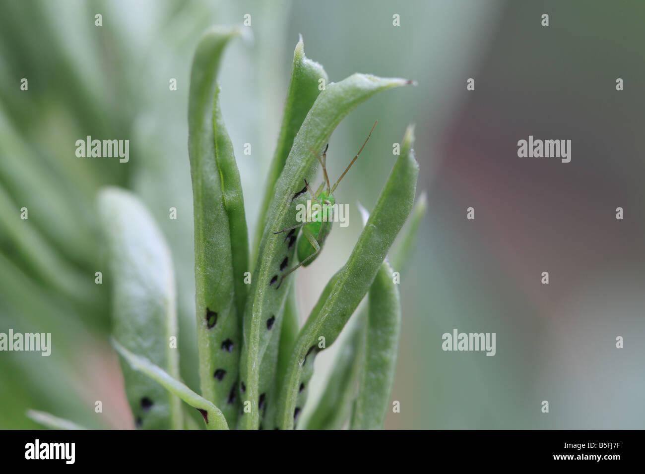 COMMON GREEN CAPSID Lygocoris pabulinus NYMPH ON BROAD BEAN SHOOT - Stock Image