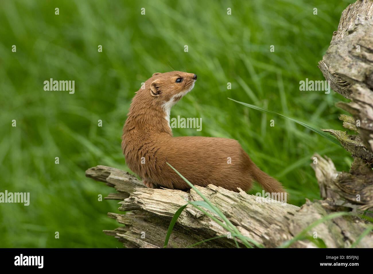 Weasel Mustela nivalis - Stock Image