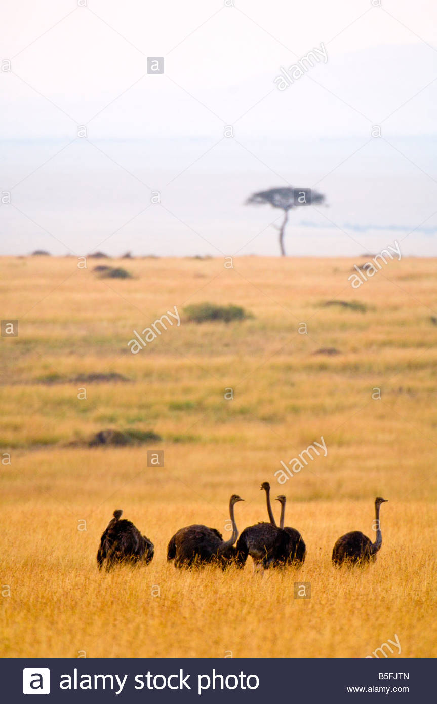 Female ostriches Masai Mara National Reserve Kenya - Stock Image