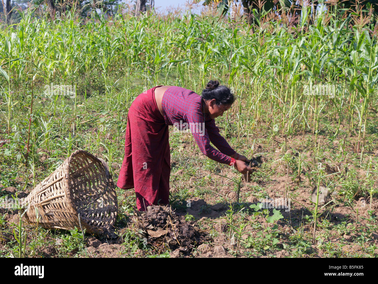 Nepal, farmer applies cow´s dung as a fertilizer on her field - Stock Image