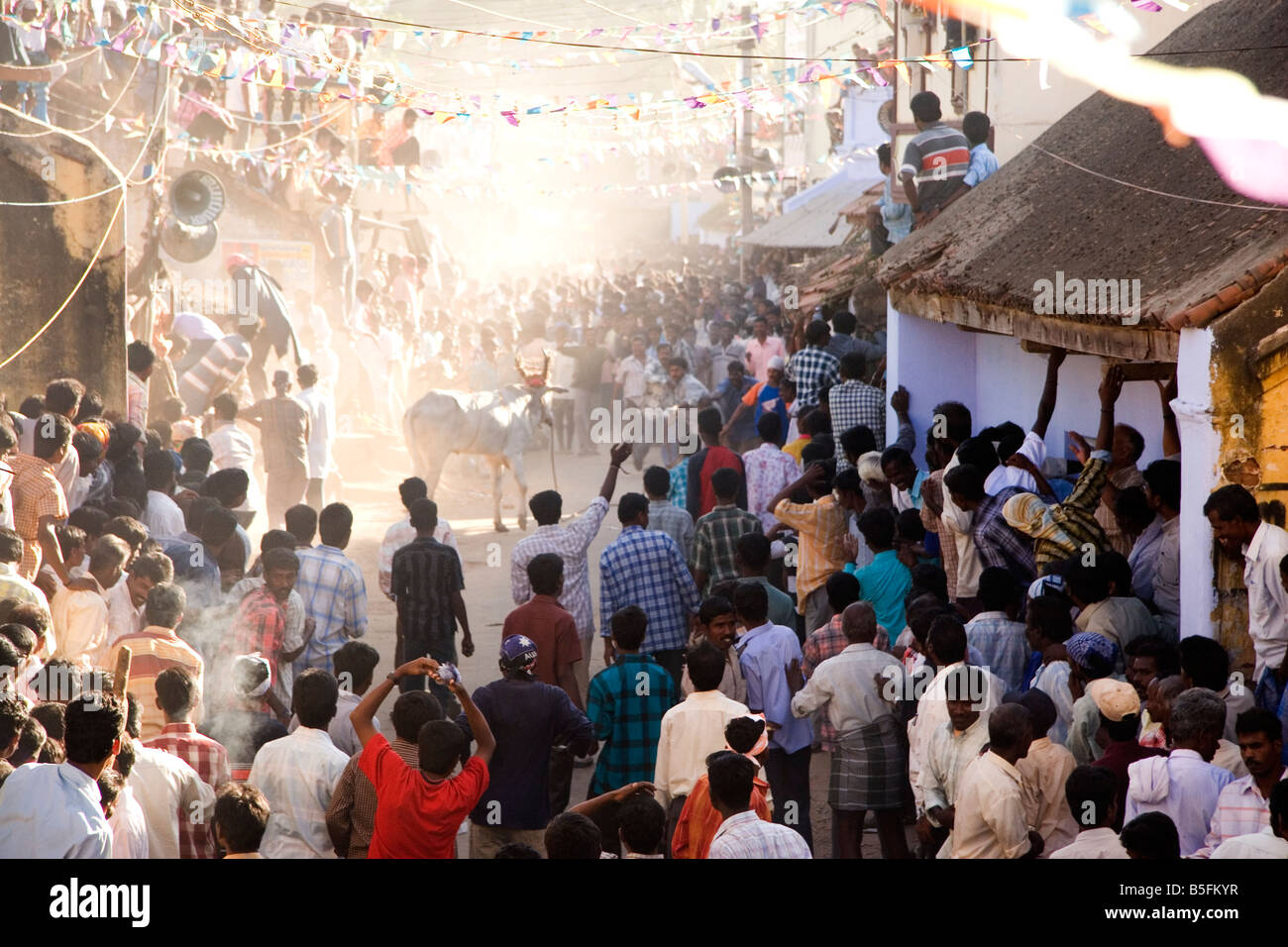 A bull stops running and charges bystanders on a street of a Tamil Nadu village as part of Pongal festivities. - Stock Image