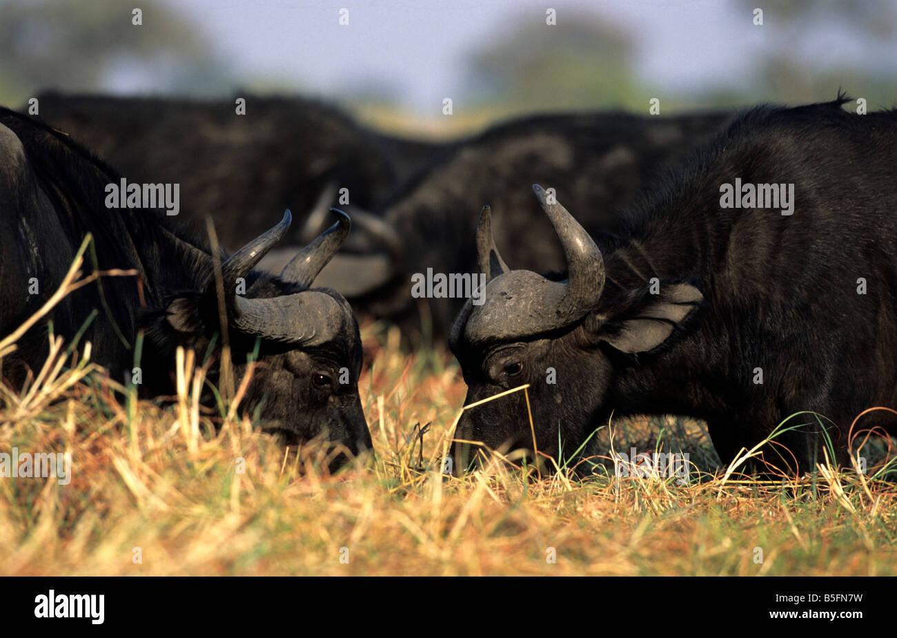 Cape Buffalo Syncerus caffer caffer Impalila Island Caprivi Region Namibia - Stock Image