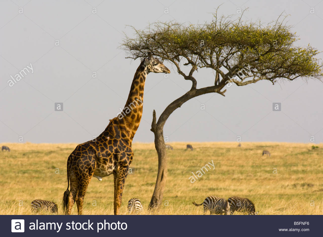 Giraffe and acacia tree Masai Mara National Reserve Kenya - Stock Image