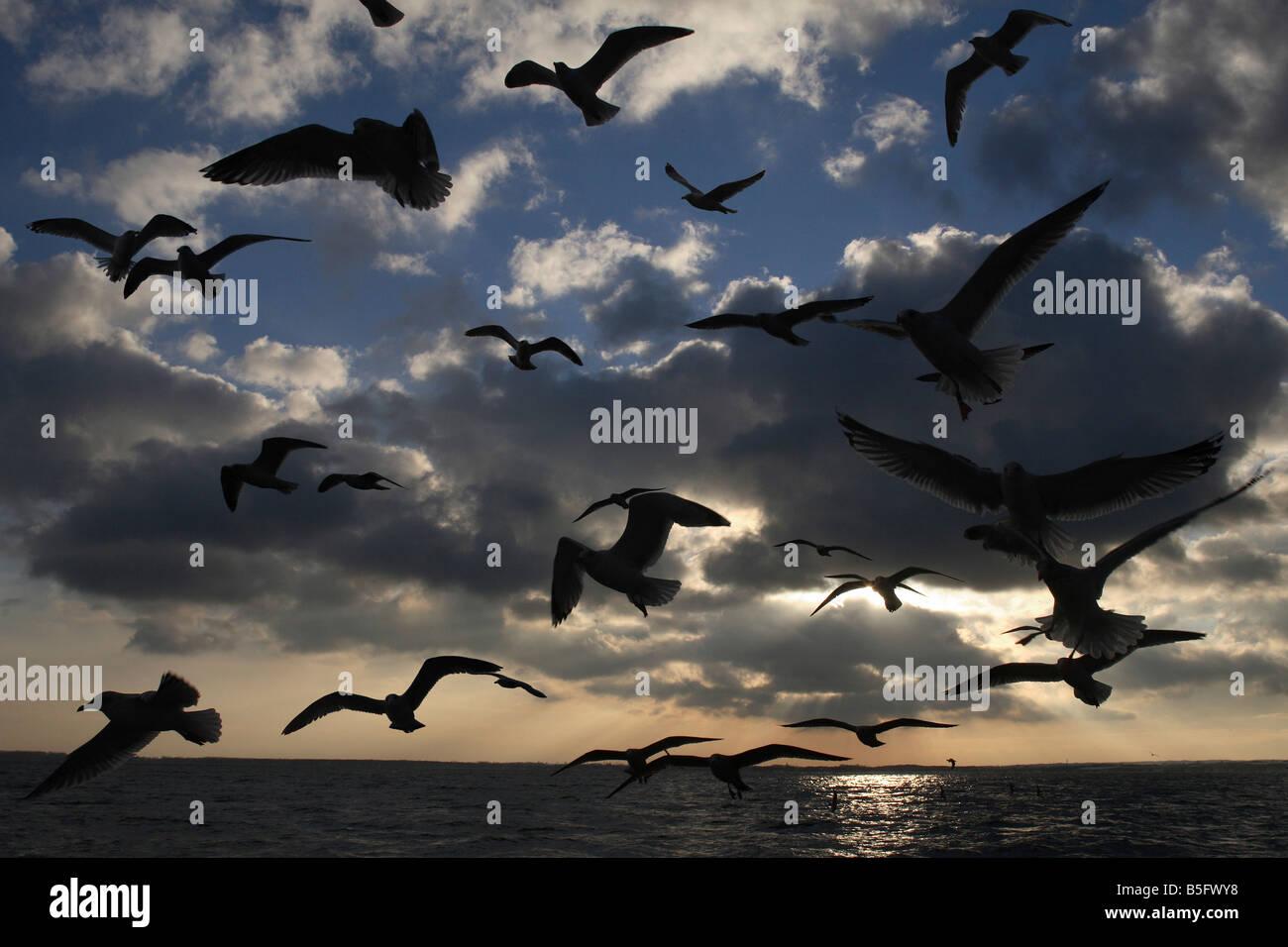 Flying eagulls against sunset at sea - Stock Image