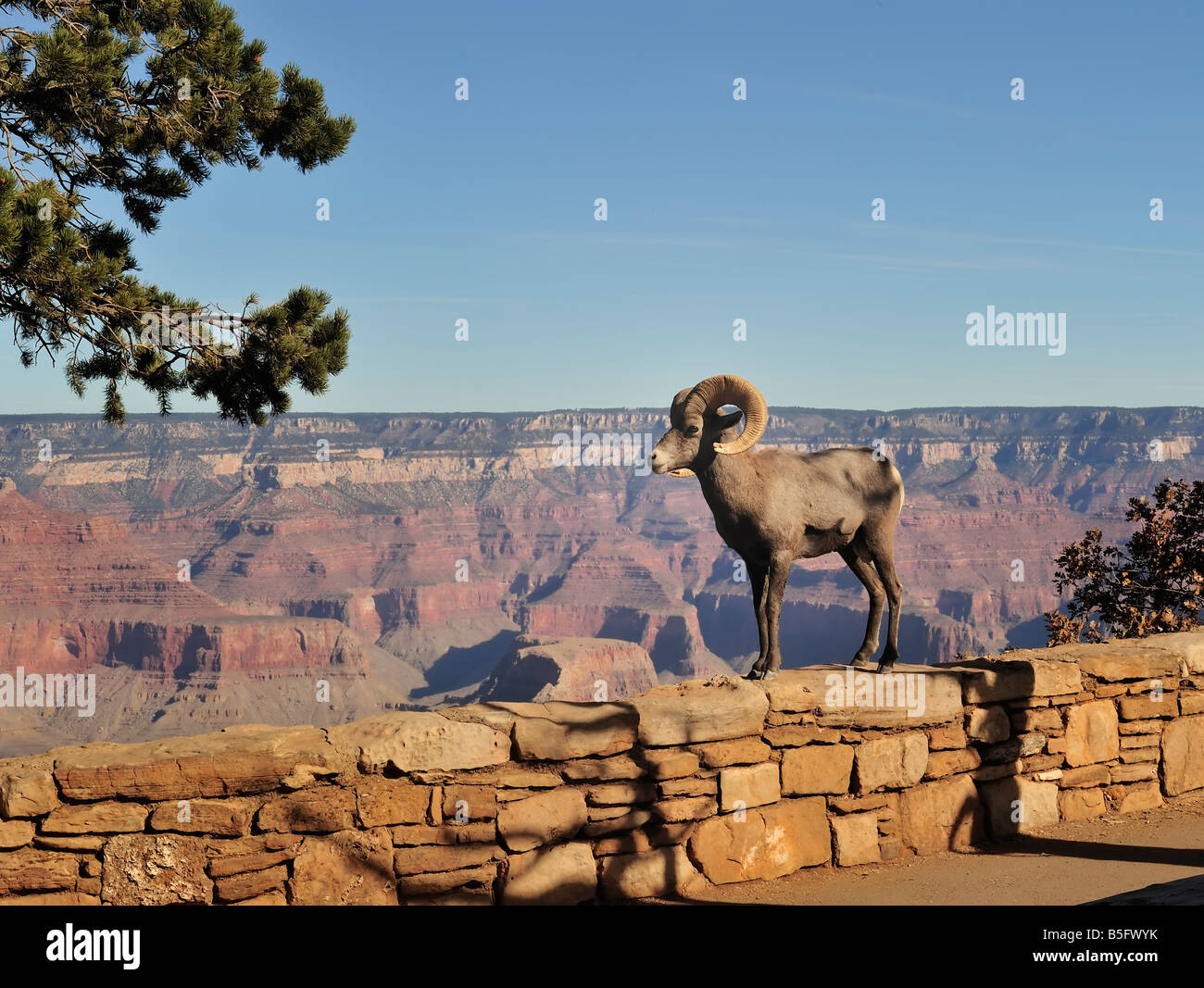 Big Horn Sheep standing on the South Rim of the Grand Canyon in one of America's grandest national parks with - Stock Image