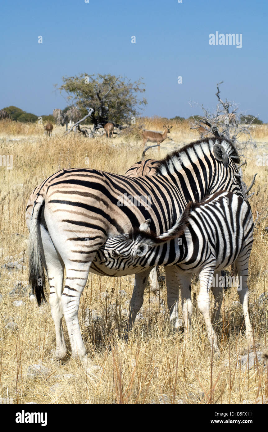 Plains or Burchell's Zebra foal suckling, Etosha National Park, Namibia - Stock Image