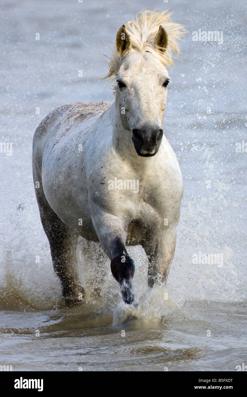 Camargue horses running on marshland to cross the river France - Stock Image