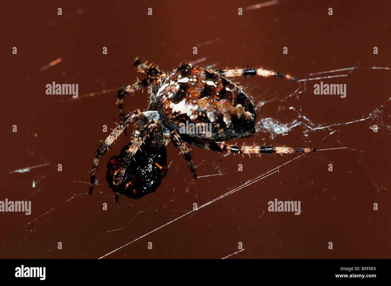 A Garden Spider Araneus diadematus Feeding off the remains of its prey - Stock Image