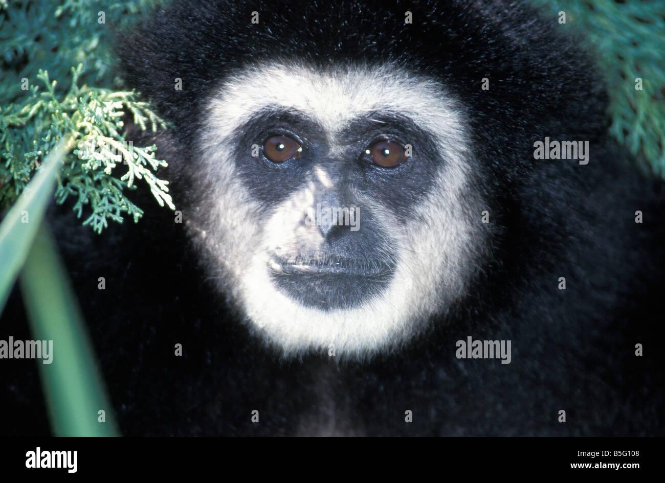 gibbon Lar Gibbon Hylobates concolor zoology animals mammal mammalian monkeys Lar Gibbon Hylobates concolor sitting - Stock Image