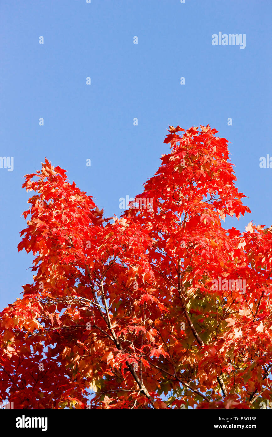 Autumn leaf color change in the upper Midwest United States - Stock Image