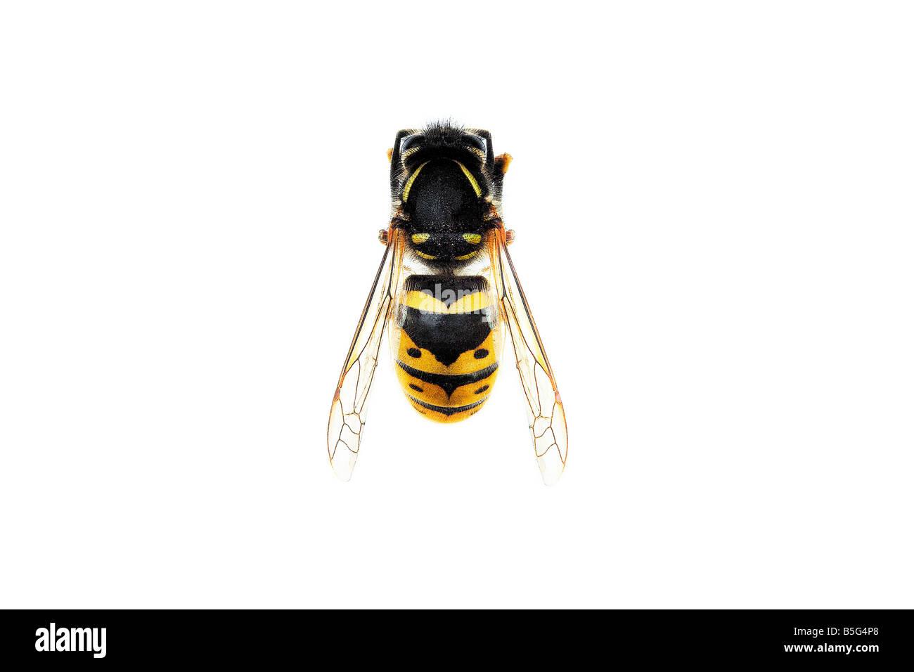 Wasp on white background - Stock Image