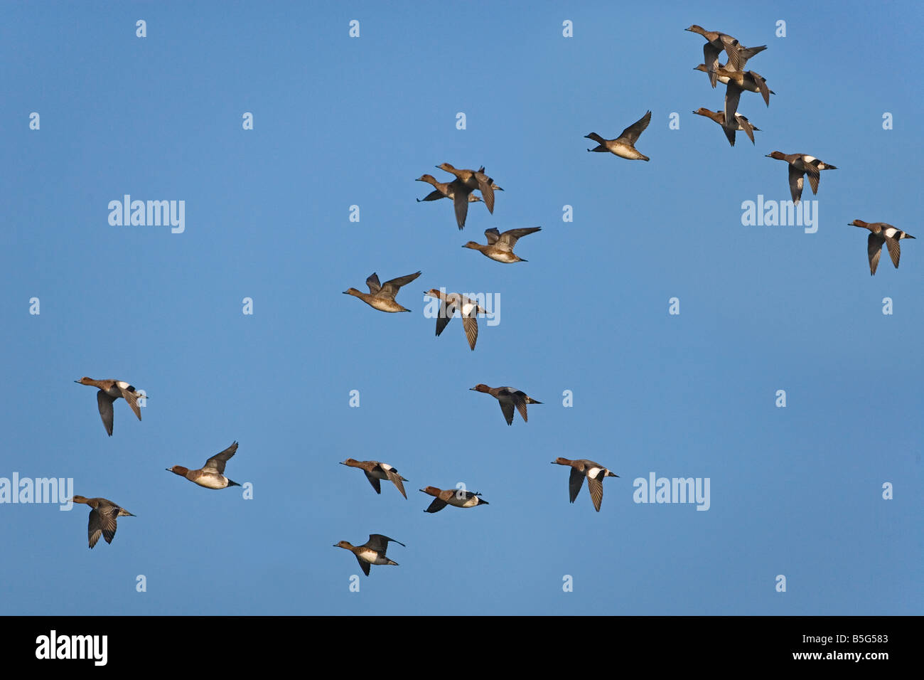 Wigeon Anas penelope flock feeding winter at Titchwell RSPB reserve Norfolk Stock Photo