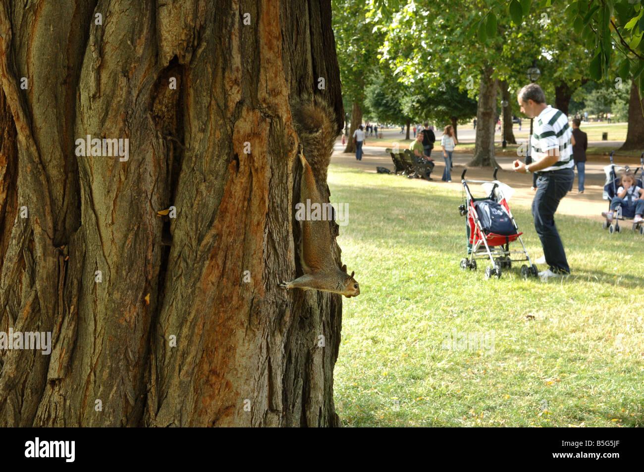 Grauhörnchen London Groß Britannien 2008 Grey Squirrel London Great Britain 2008 - Stock Image