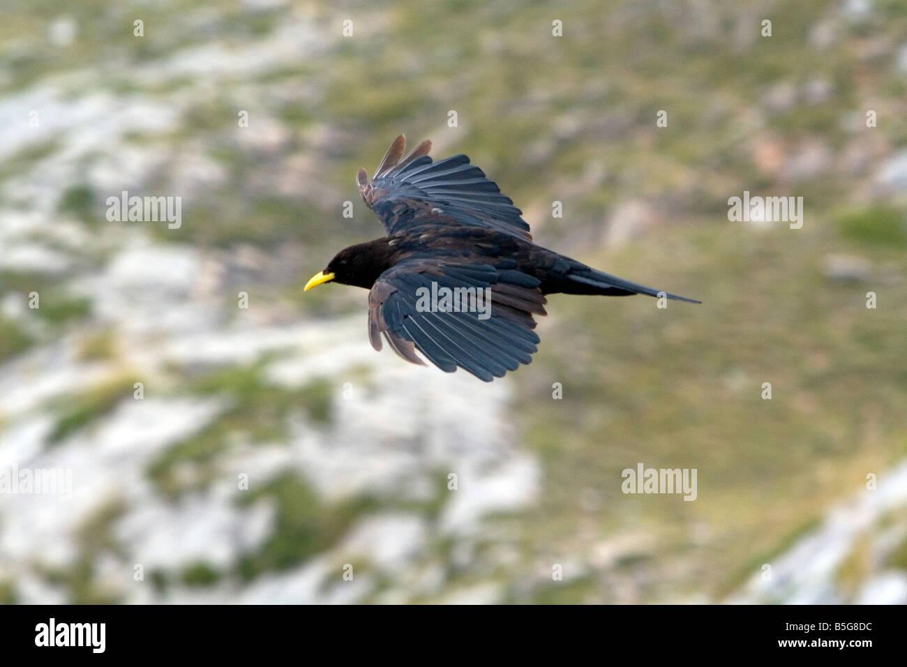 Alpine Chough flying in the Picos de Europa at Fuente De Liebana Cantabria northwestern Spain - Stock Image