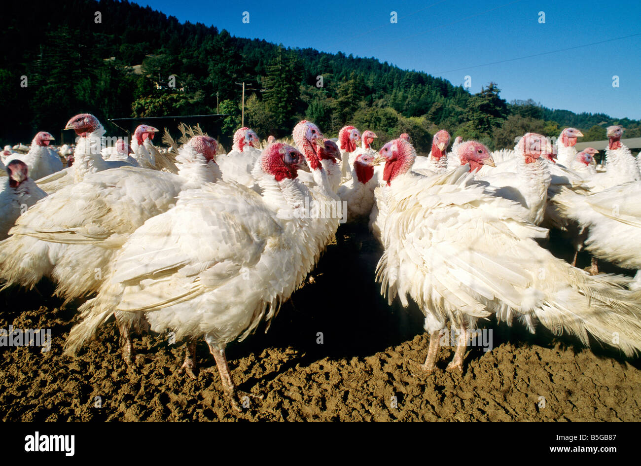Turkeys 'free ranging'  poultry ranch. Stock Photo