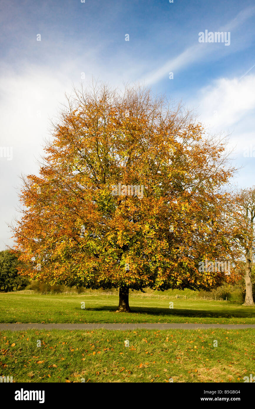 Beech Tree at Autumn Helmsley Yorkshire - Stock Image