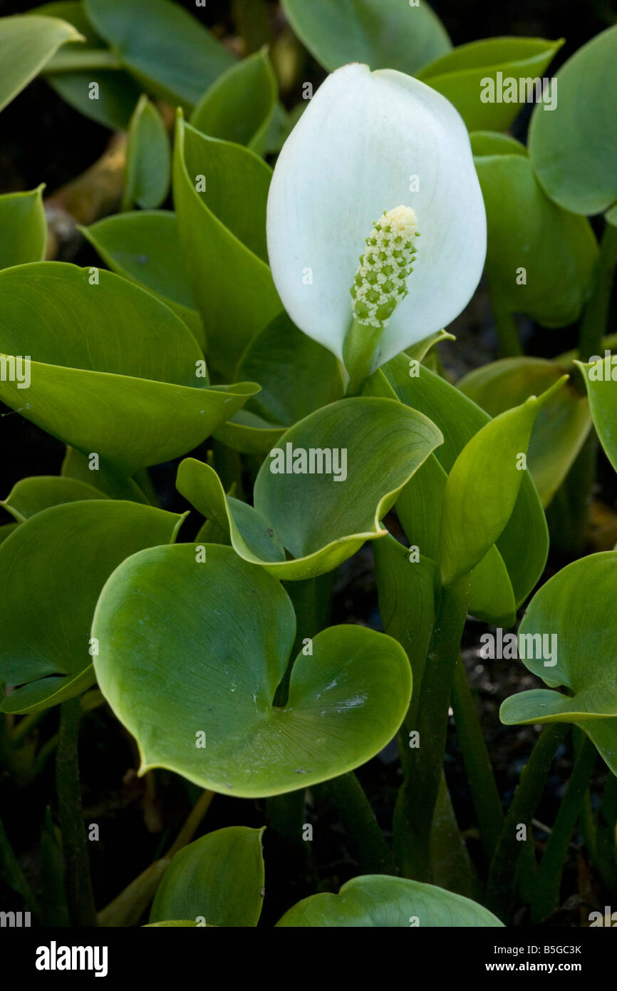 Bog Arum Calla palustris north Europe Stock Photo