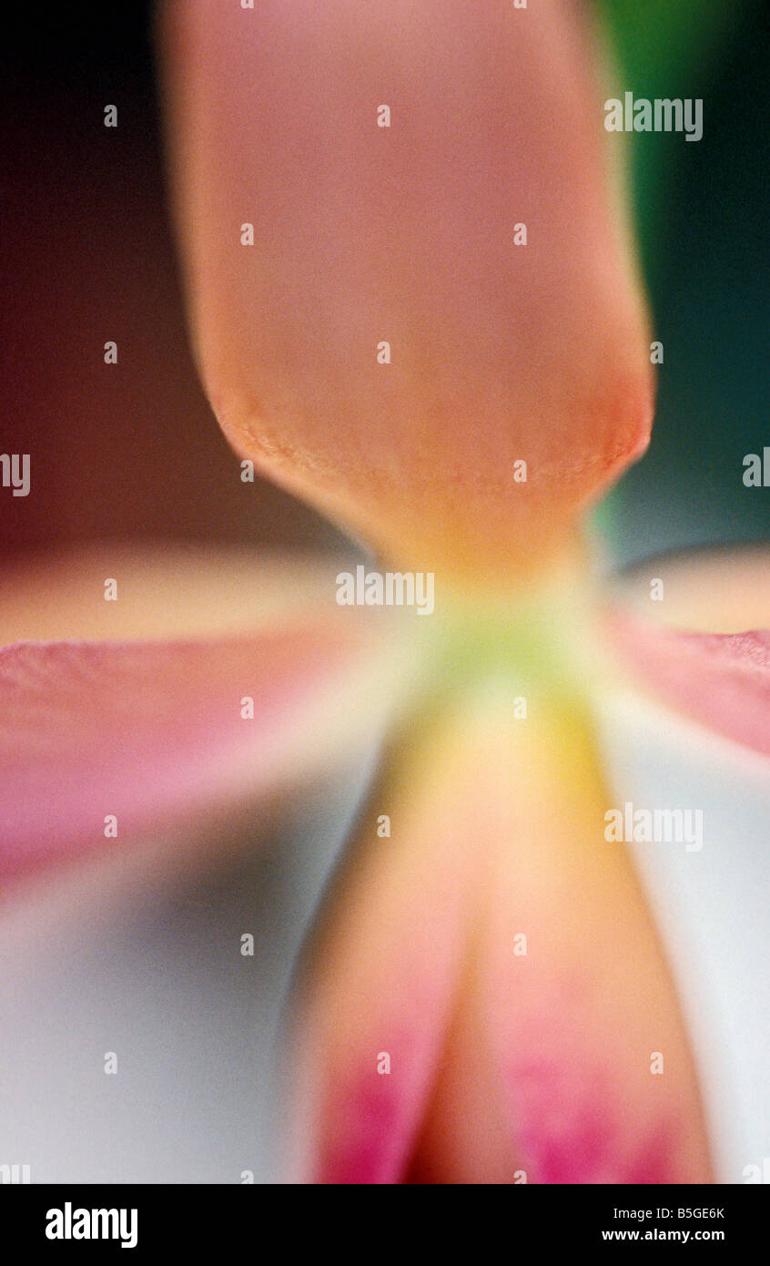 Close-up of an orchid - Stock Image