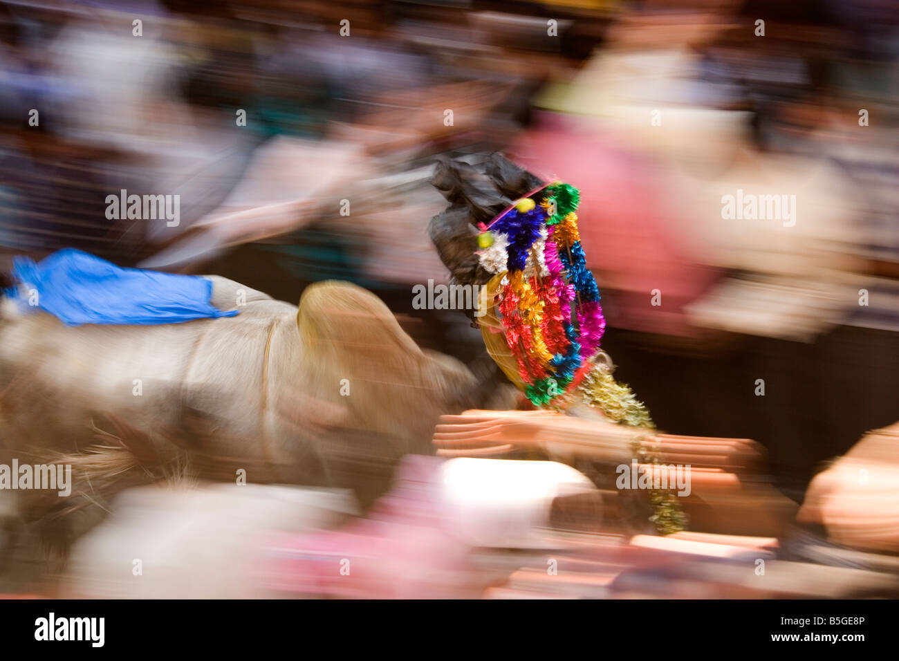 A bull races through the street of a Tamil Nadu village as part of Pongal festivities, - Stock Image