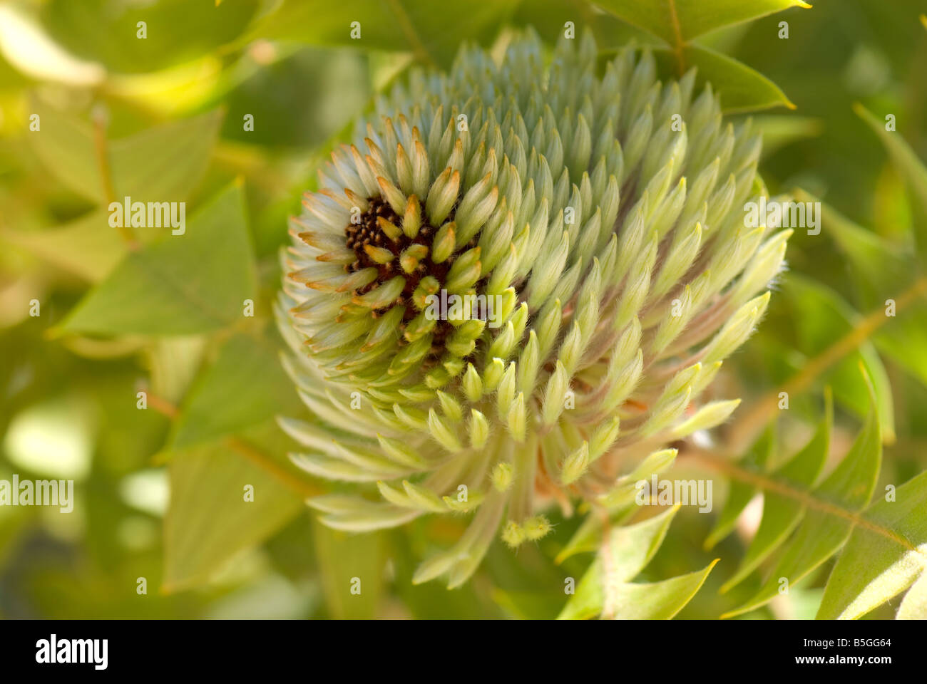 Close up of a Baxter's Banksia flower head - Stock Image