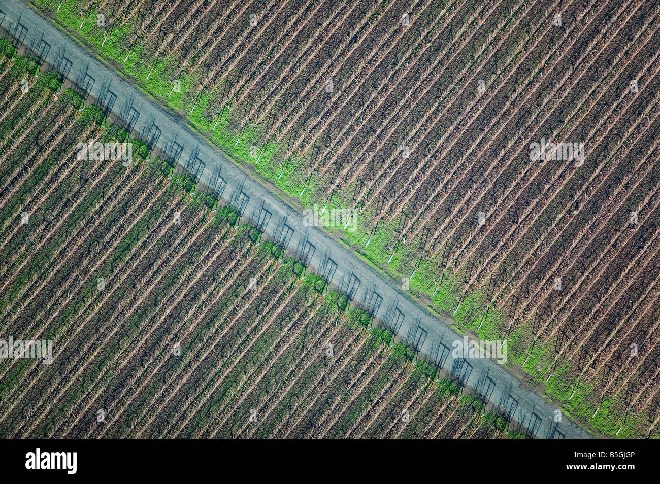 aerial view above diagonal vineyard rows at maintenance road in Sonoma California wine region - Stock Image